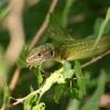 Lézard vert (Lacerta bilineata) – France