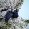 Choucas des tours (Coloeus monedula) – France