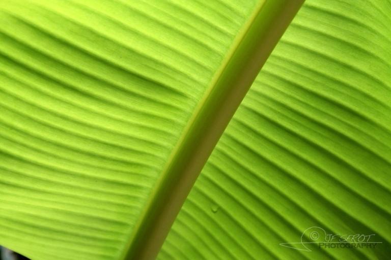 Bananier (Musa) – Tanzanie
