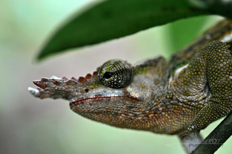 Calmé léon, Chamaeleonidae – Tanzanie
