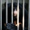 Ours noir d'Asie (Ursus thibetanus), folie humaine – Chine