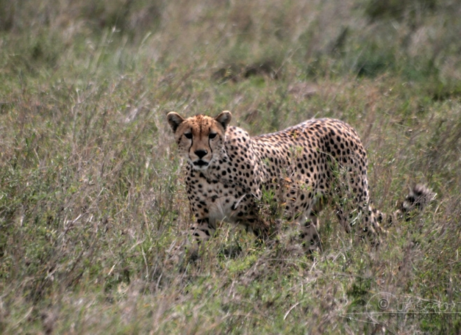 Guépard (Acinonyx jubatus) – Tanzanie