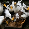 Mangeoire à Canards – Chine