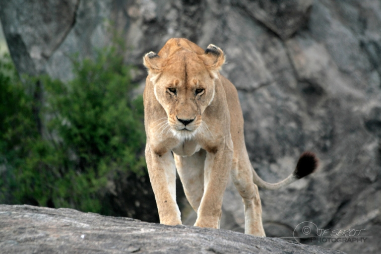 Lion d'Afrique (Panthera leo leo) – Tanzanie