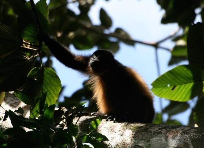 Hurleur du Guatemala (Alouatta pigra) – Nicaragua