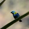 Calliste à tête verte (Tangara seledon) – Brésil