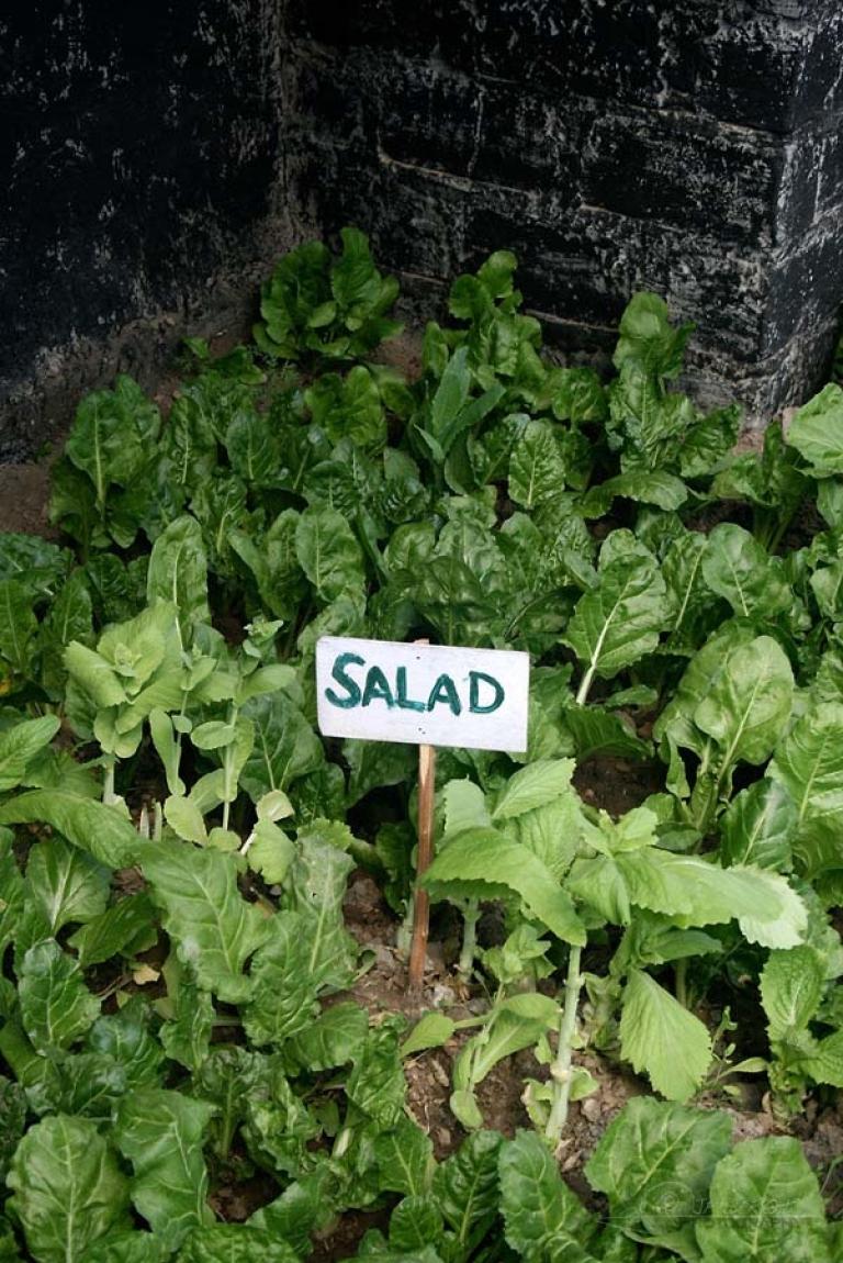 Salade sous serre – Inde