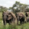 Éléphant d'Afrique (Loxodonta africana) – Tanzanie