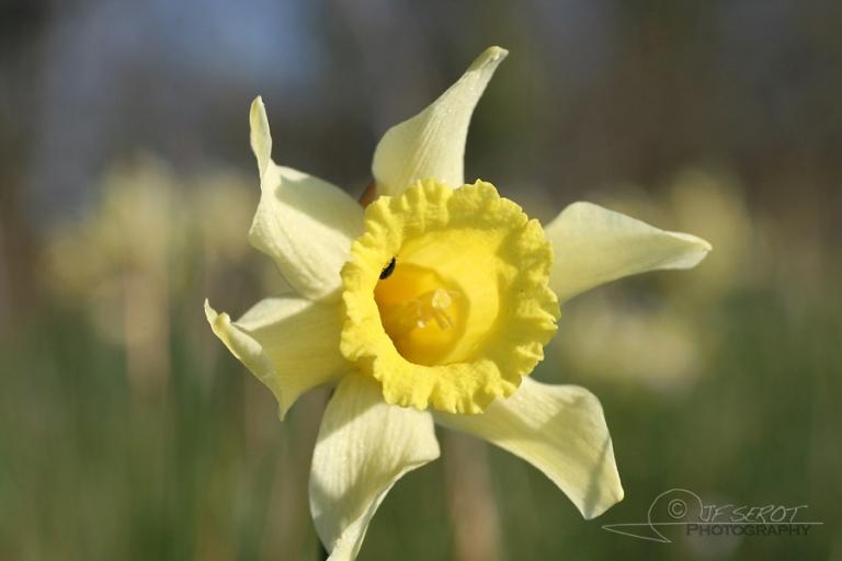 Narcisse (Narcissus) – France
