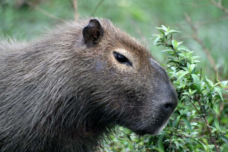 Capybara (Hydrochaeris hydrochaeris) – Argentine