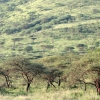 Forêt d'Acacia au Serengeti – Tanzanie