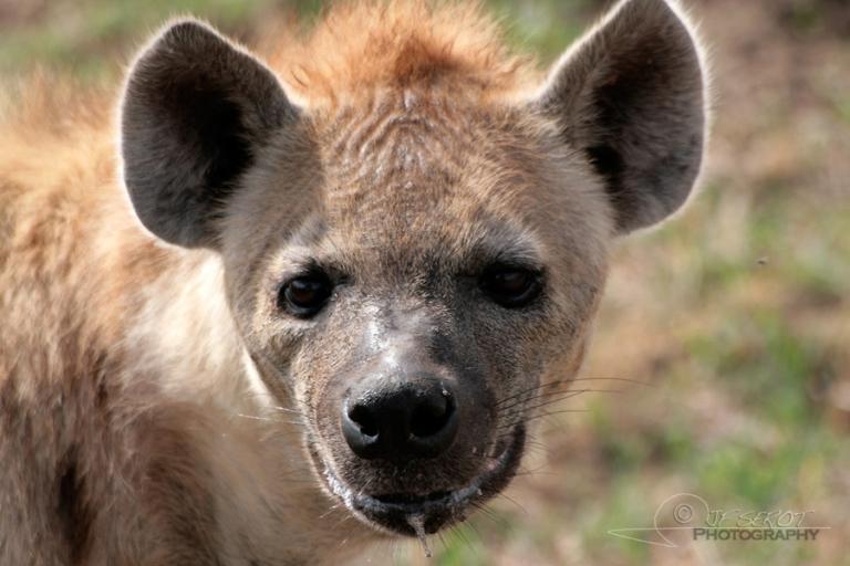 Hyène tachetée (Crocuta crocuta) – Tanzanie