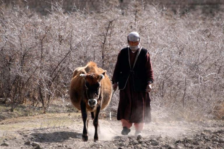 Conduire une vache – Inde