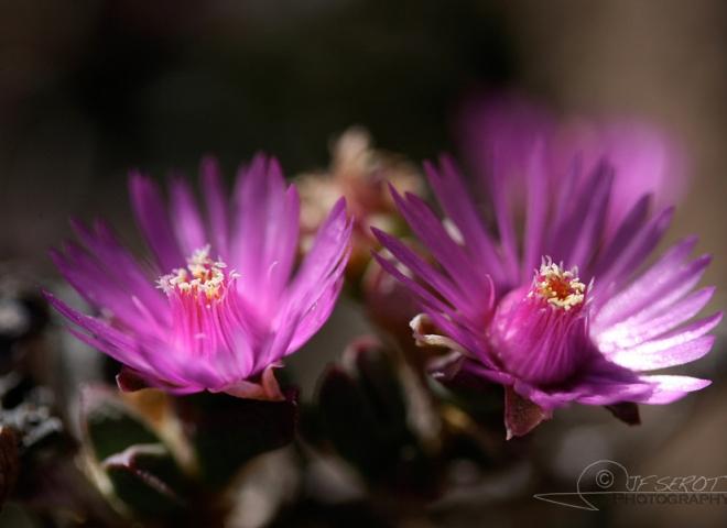 Delosperma, Aizoaceae – Lesotho