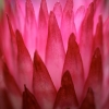 Helichrysum ecklonis – Afrique du Sud