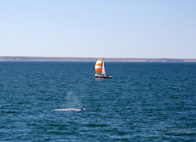 Baleine franche australe 1 / 5