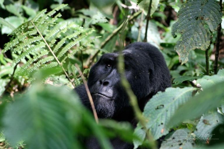 Gorille des montagnes (Gorilla beringei beringei) – Ouganda