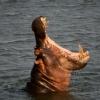 Hippopotames (Hippopotamus amphibius) – Afrique du Sud