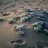 Plante dunaire – Afrique du Sud