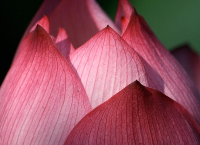 Lotus (Nelumbium nucifera) – Viêt Nam