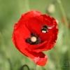 Bourdon terrestre (Bombus terrestris) – France