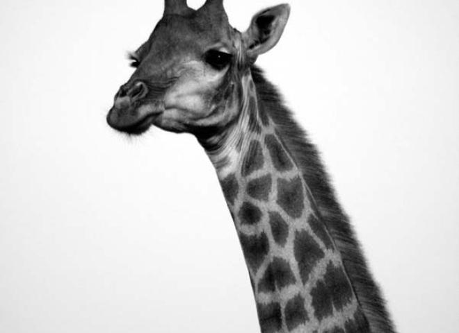 Girafe (Giraffa camelopardalis) – Afrique du Sud
