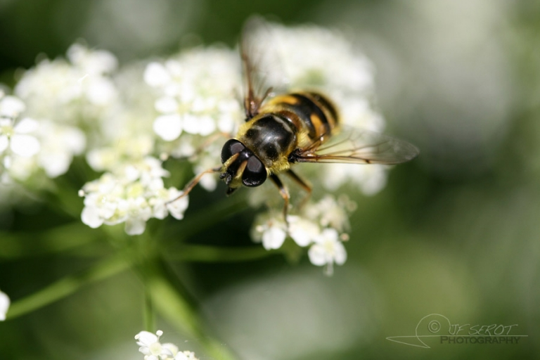 Syrphus sp – France