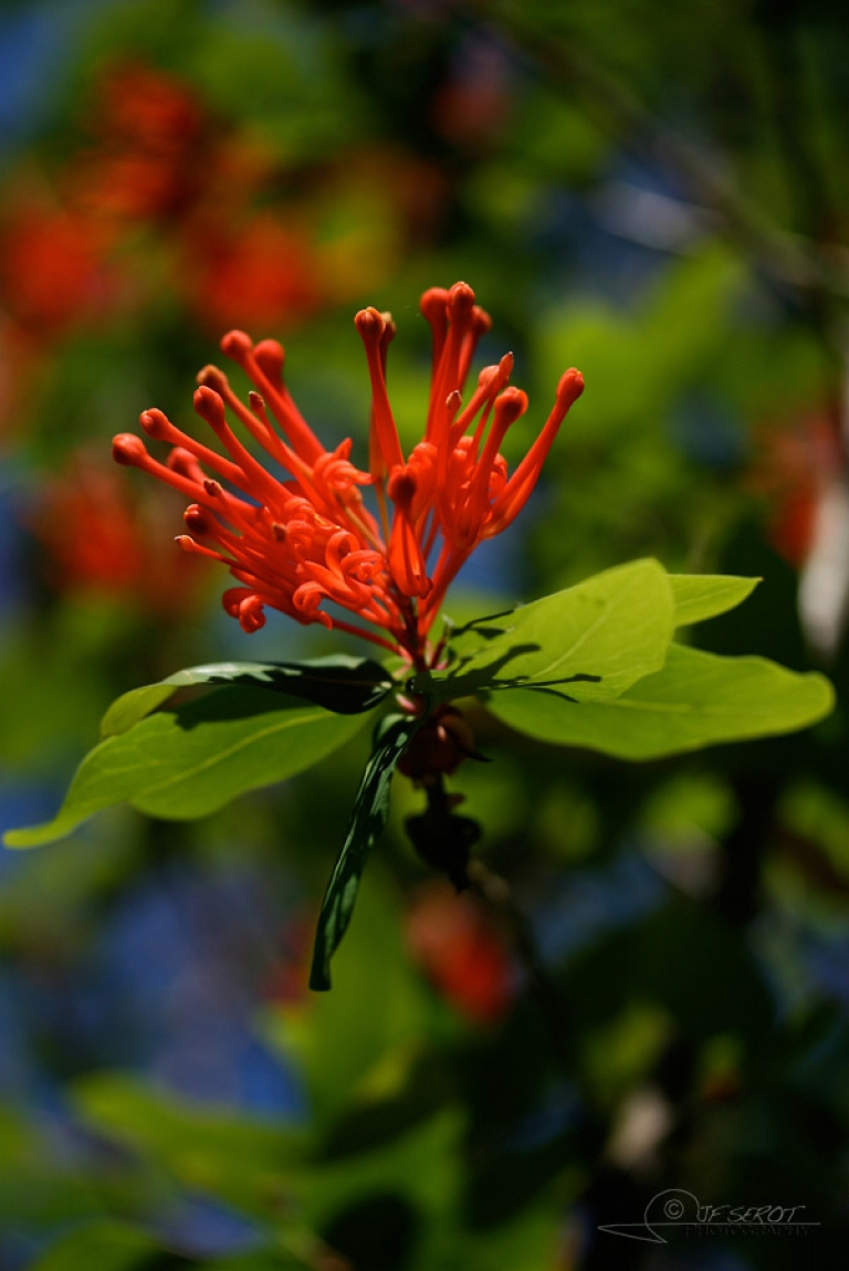 Arbre de feu du Chili (Embothrium coccineum) – Chili