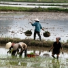 Paysanne «riz» – Viêt Nam