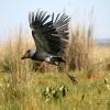 Bec-en-sabot du Nil (Balaeniceps rex) – Ouganda