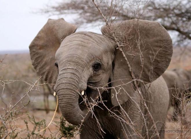 Éléphant d'Afrique (Loxodonta africana) – Afrique du Sud