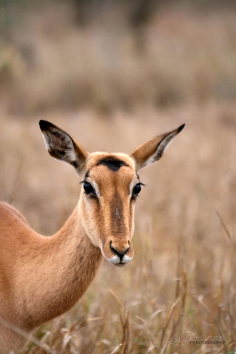 Antilopes Impala (Aepyceros melampus) – Afrique du Sud