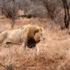 Lion d'Afrique (Panthera leo leo) – Afrique du Sud