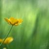Bouton d'or (Ranunculus acris) – France