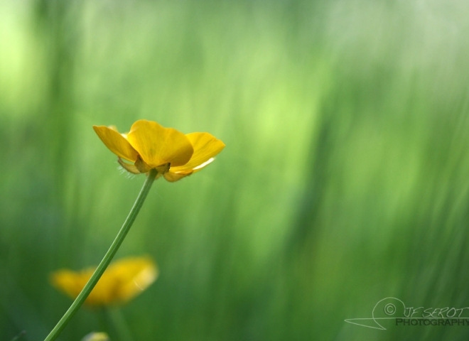 Bouton d'or (Ranunculus acris) – France