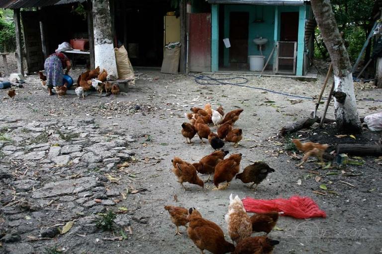 Picorer des poules – Guatemala