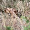 Tigre (Panthera tigris) – Inde
