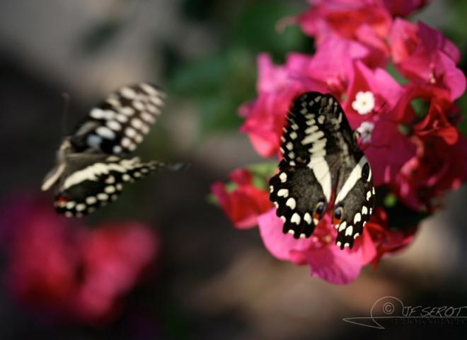 Papilionoidea – Zambie