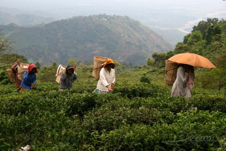 Ramassage du thé – Inde