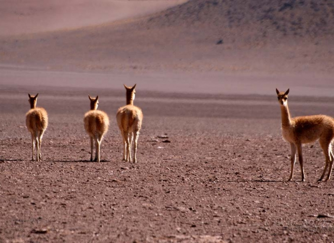 Vigogne (Vicugna vicugna) – Bolivie