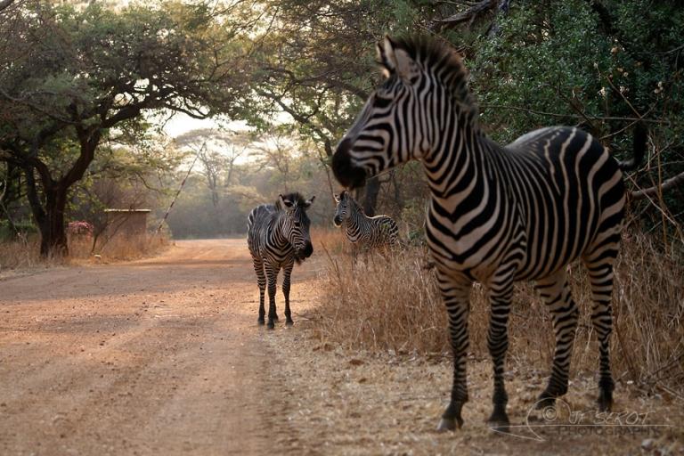 Zèbre, Equus – Zambie