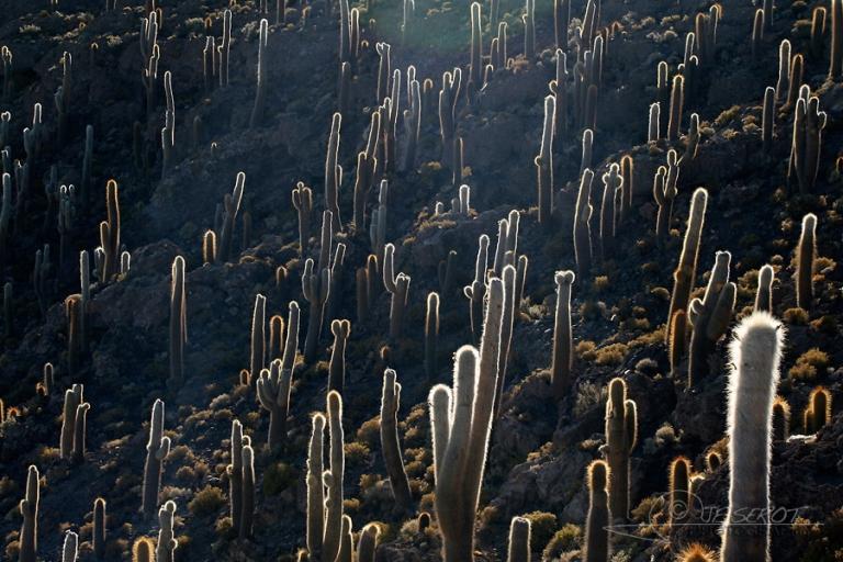 Forêt de Cactus, Sud Lipez – Bolivie
