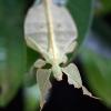Tea deva (Phyllium sp) – Inde