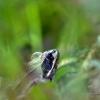 Grenouille agile (Rana dalmatina) – France