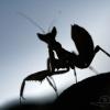 Welcome darling, Mantidae – Cambodge