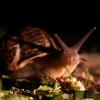 Escargot de Bourgogne (Helix pomatia) – France