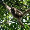 Gibbon à mains blanches 2 / 5