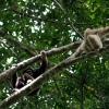Gibbon à mains blanches 5 / 5
