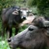 Buffle commun (Bubalus bubalis) – Népal