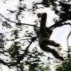 Gibbon à mains blanches 4 / 5